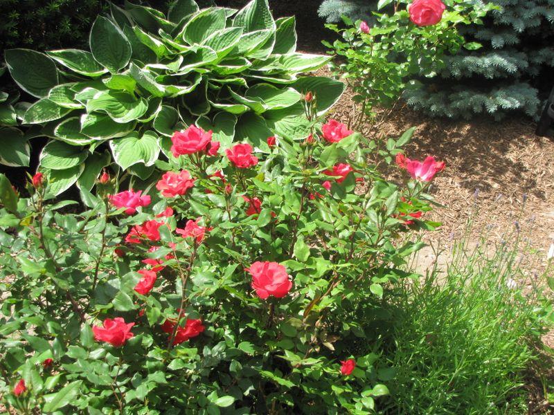 Garden June 10 09 004