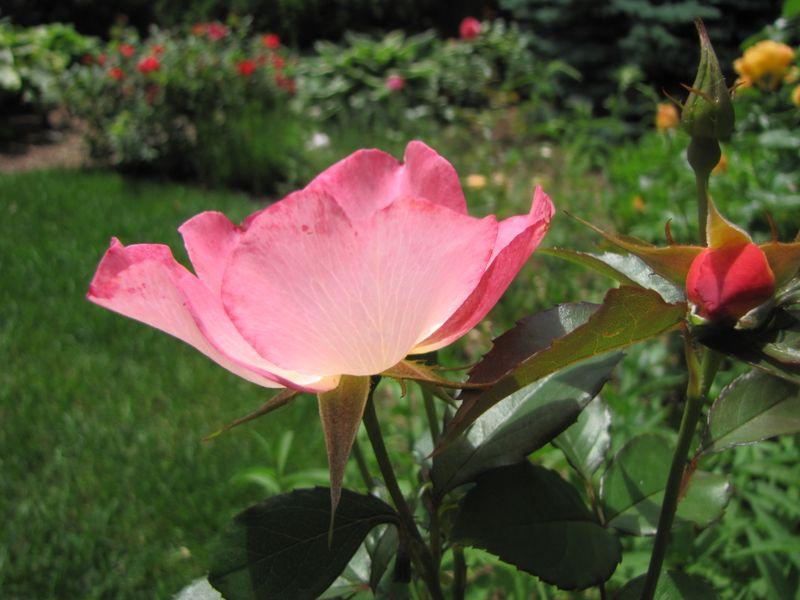 Garden June 10 09 011