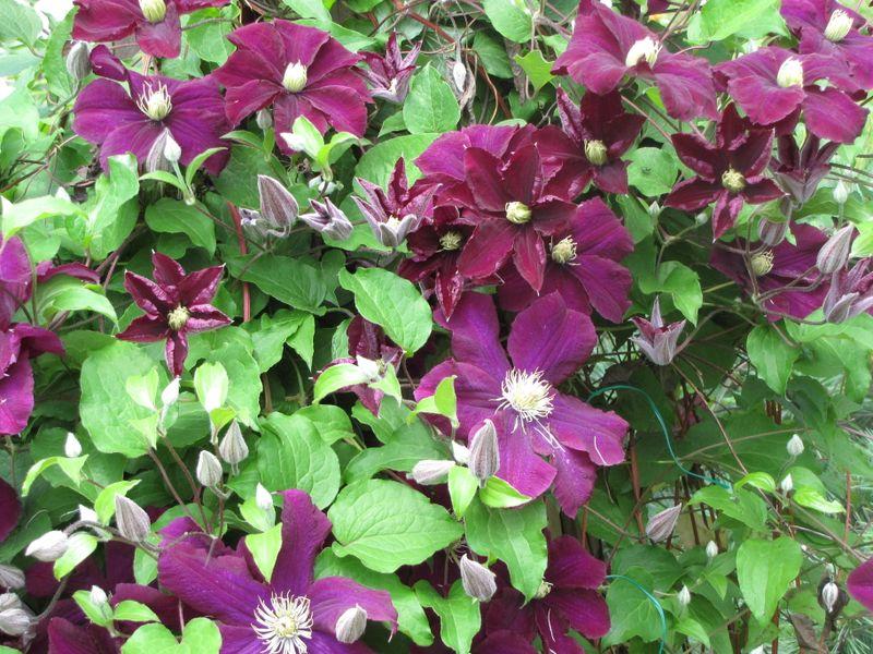 Clematis in Bloom June 12 09 001