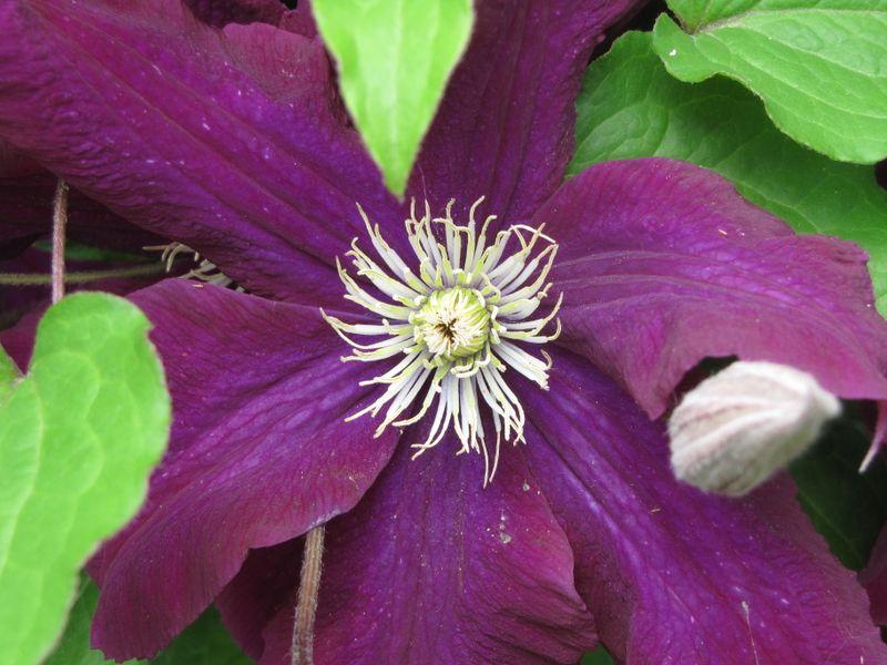 Clematis in Bloom June 12 09 002