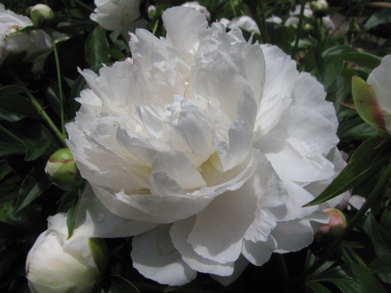 Garden June 10 09 012