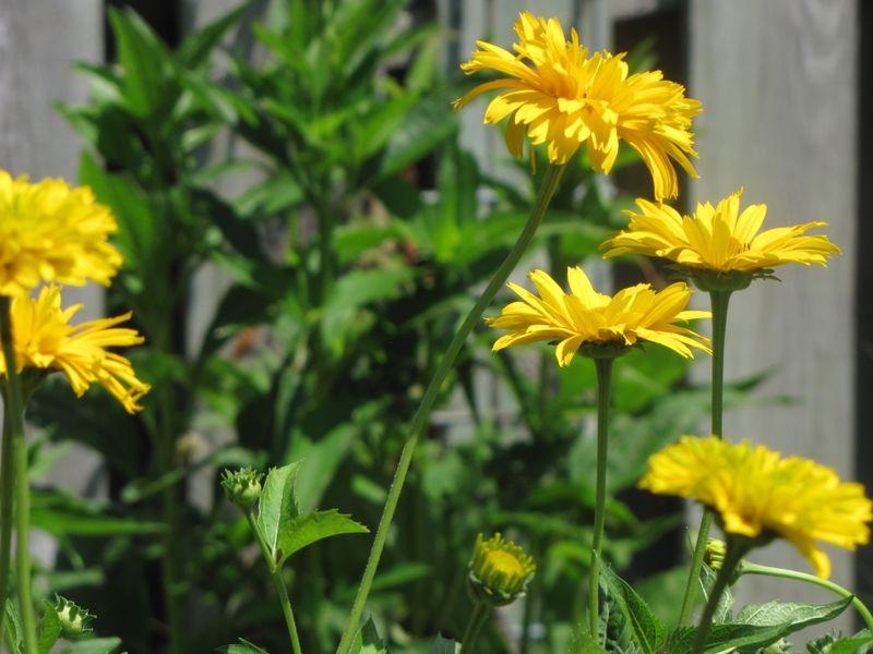 Garden Blooms June 24 007