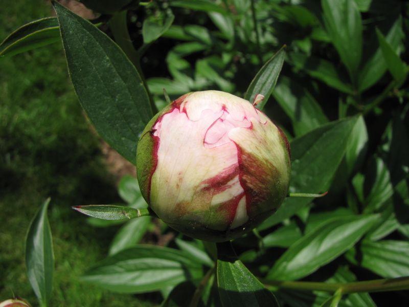 Garden Jun 4 2009 007