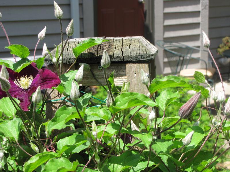 Garden Jun 4 2009 004
