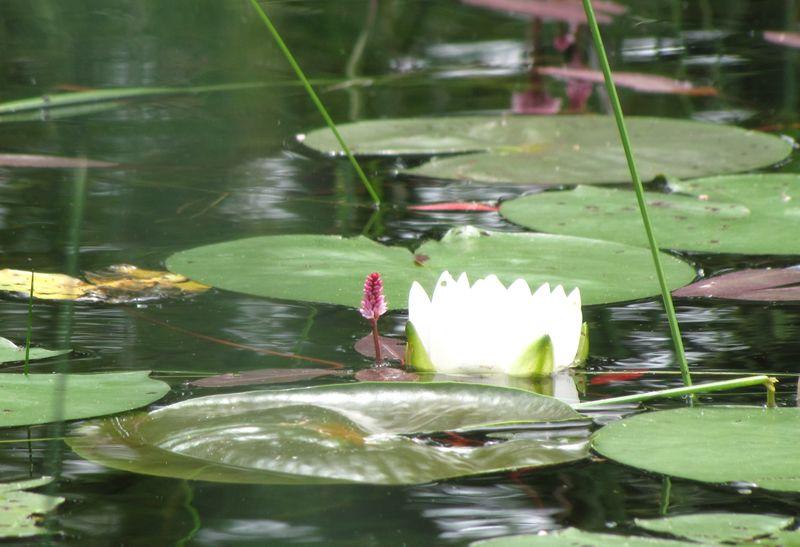 Lake lilies 2