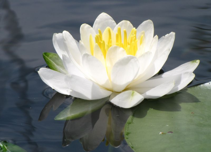 Lake lily closeup