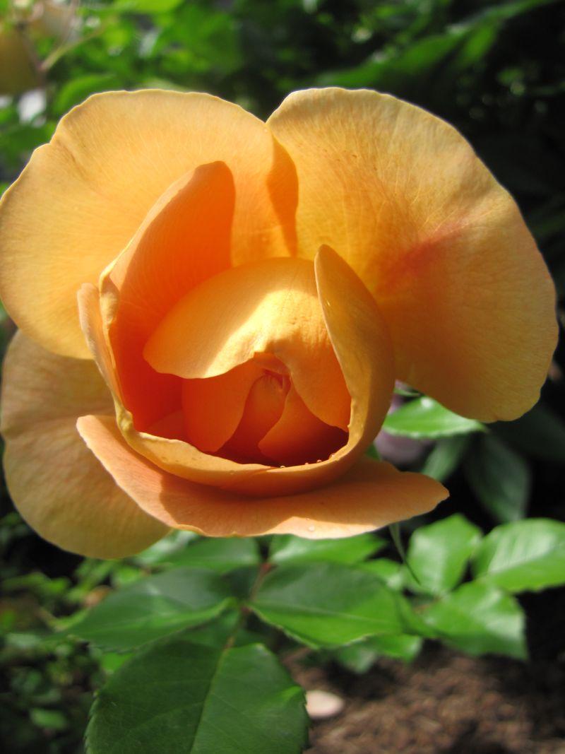 Garden June 10 09 013