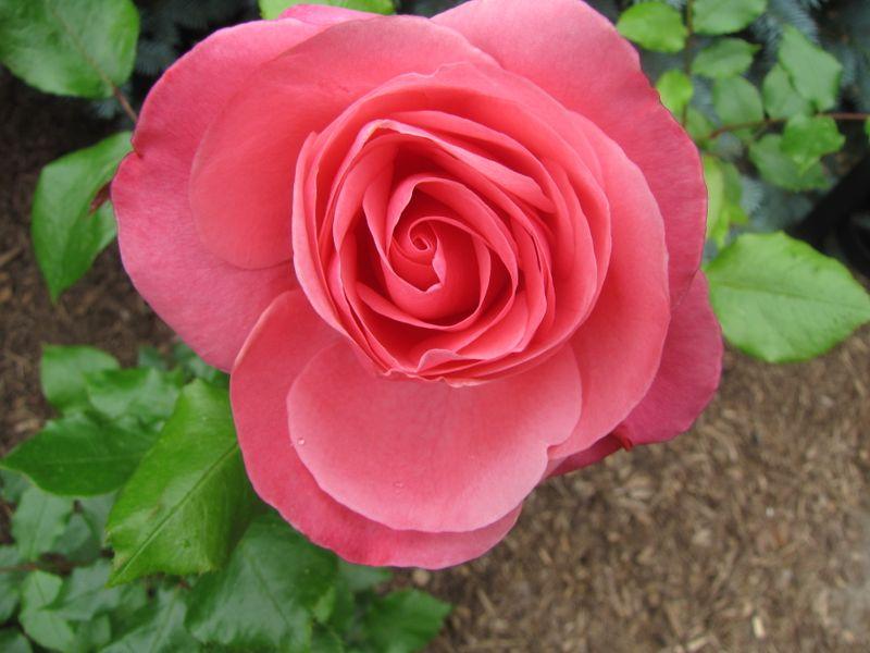 Blooms June 7 2009 004