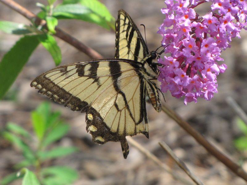 Butterfly bush etc aug 18 09 037