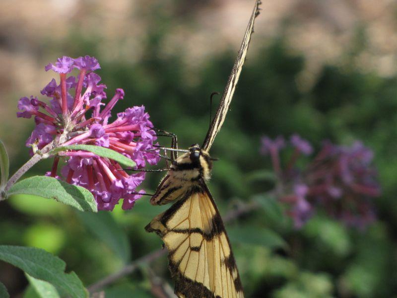 Butterfly bush etc aug 18 09 020