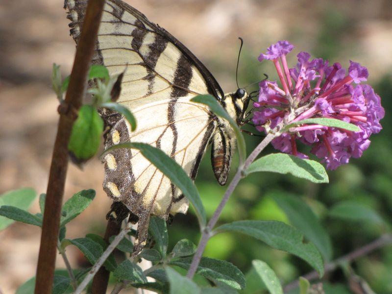 Butterfly bush etc aug 18 09 019
