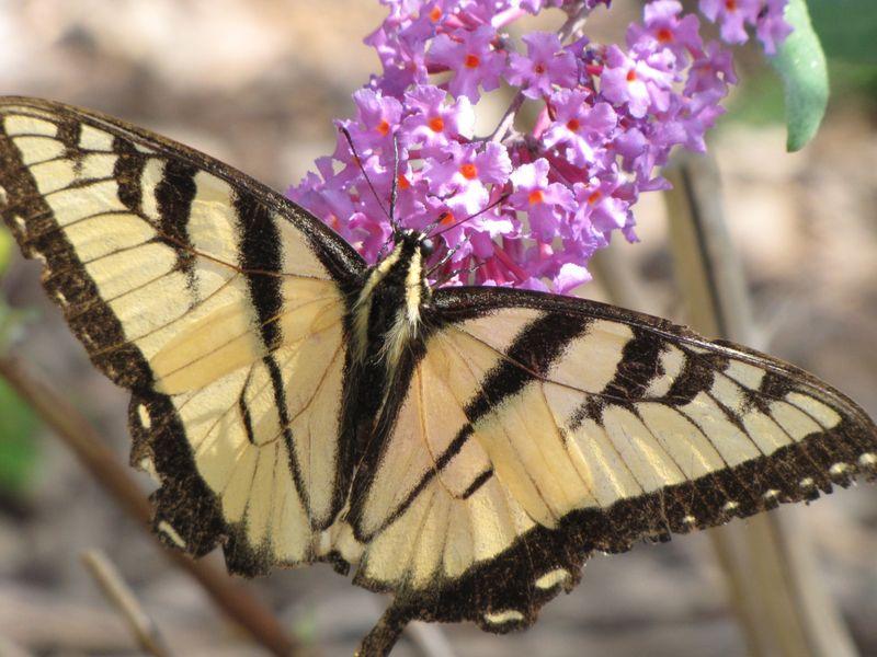Butterfly bush etc aug 18 09 013