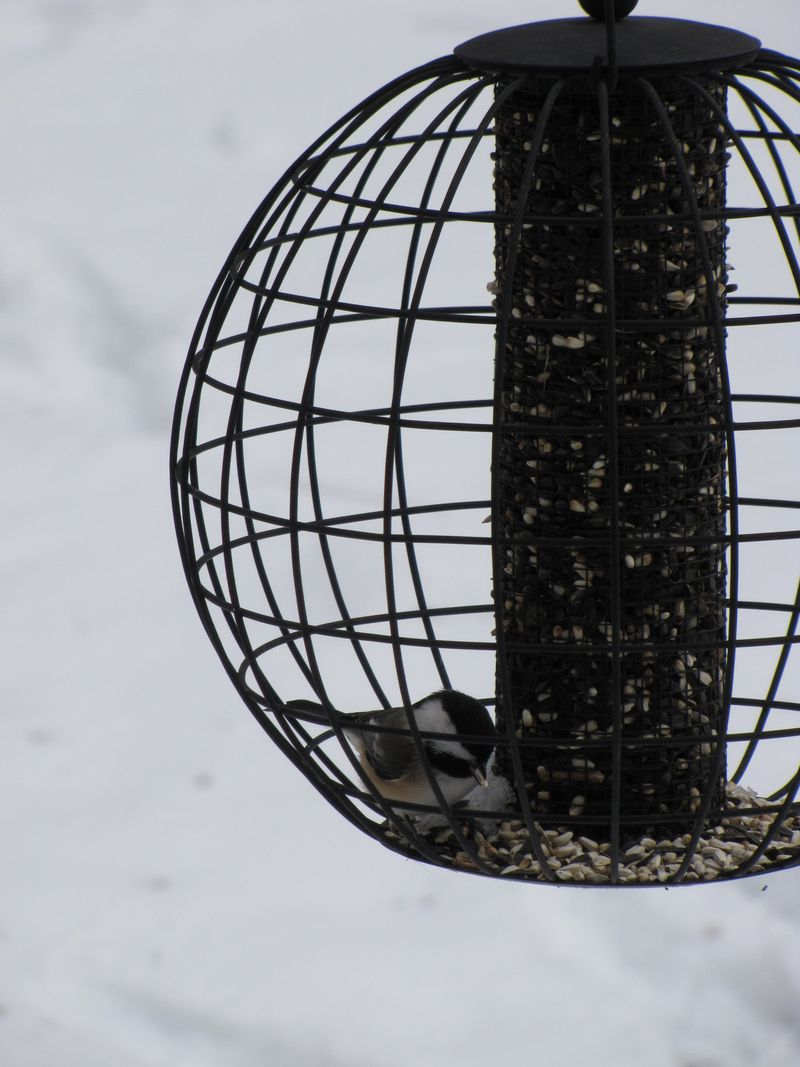 Birds and squirrels 010