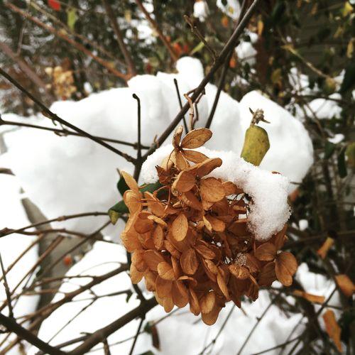 Snowy hydrangea